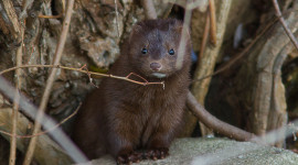 Curious Mink, Ward's Island, Toronto Islands