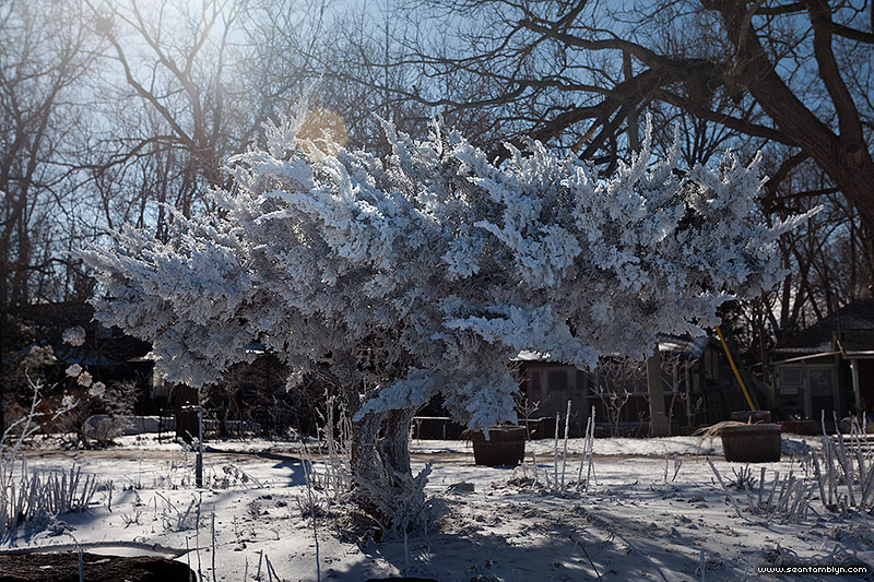 Tree covered in steam frost, Ward's Island, Toronto Islands