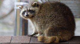 Racoon on roof, Ward's Island, Toronto Islands
