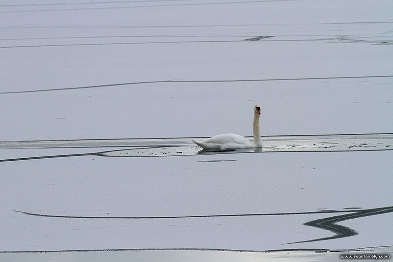 Mute swan in open ice leads, Centre Island, Toronto Islands