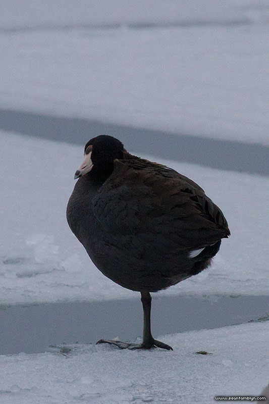 American Coot on ice, Inner Harbour, Toronto Islands
