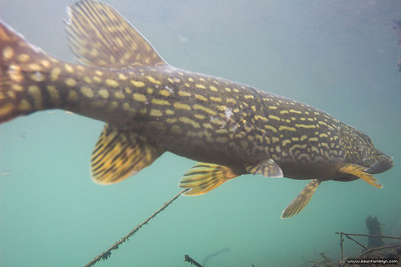 Northern Pike underwater, Snake Island, Toronto Islands