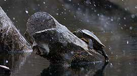 Red eared slider turtle in snowstorm, Snake Island, Toronto Islands