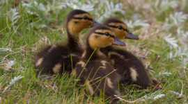 Mallard Ducklings, Snake Island, Toronto Islands