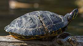 Red-eared Slider turtle injured by a propeller, Snug Harbour, Toronto Islands