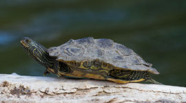 Northern Map Turtle, Snug Harbour, Toronto Islands