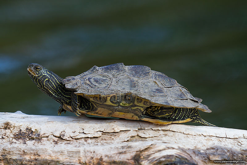 Northern Map Turtle, Snug Harbour, Toronto Islands