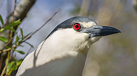 Mature black-crowned night heron, Doughnut Island, Toronto Islands