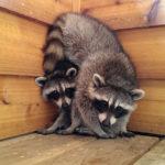 Baby raccoons on balcony, Ward's Island, Toronto Islands