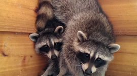 Baby raccoons on balcony, Ward's Island, Toronto Islands