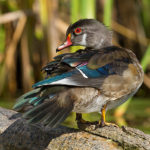 Male wood duck in eclipse plumage, Doughnut Island, Toronto Islands