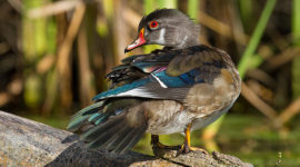 Male wood duck in eclipse plumage, Doughnut Island, Toronto Islands