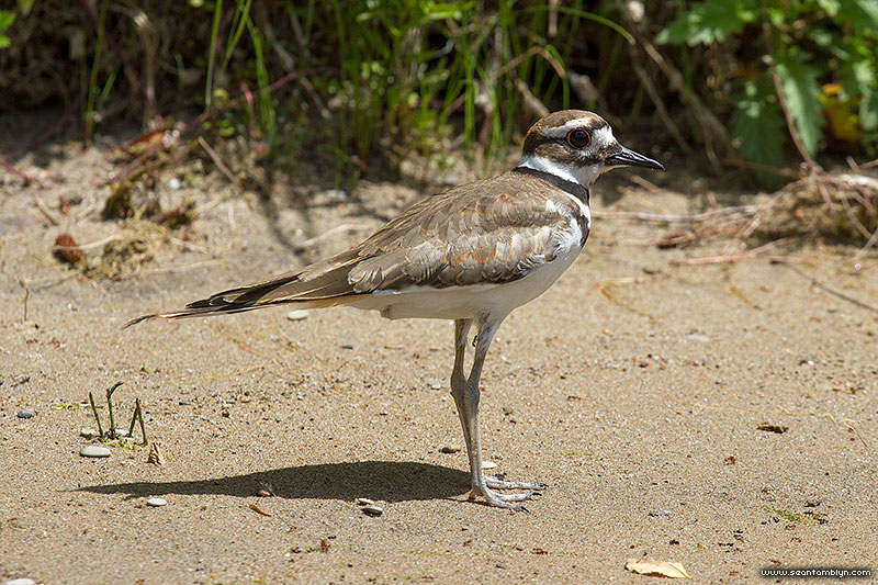 Killdeer, Blockhouse Bay, Toronto Islands