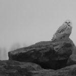 Snowy Owl, Ward's Island, Toronto Islands