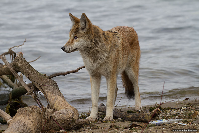 Coyote on First St beach, Ward's Island, Toronto Islands