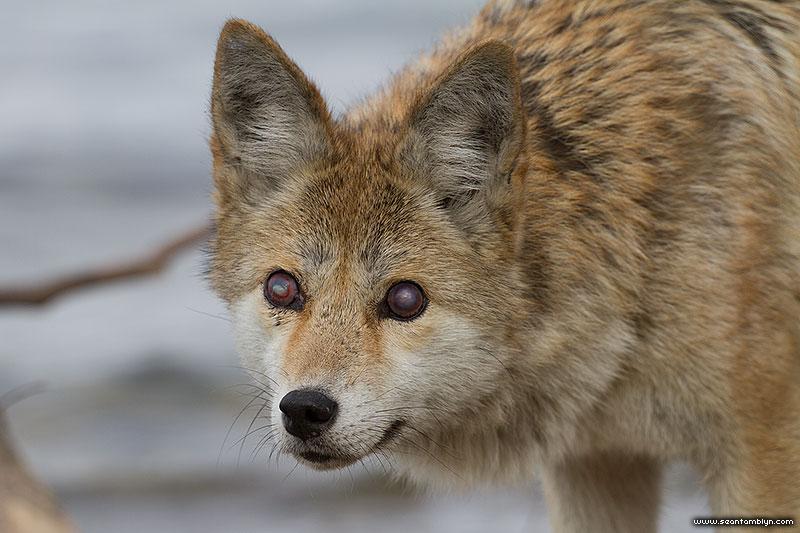 Blind coyote eyes, Ward's Island, Toronto Islands