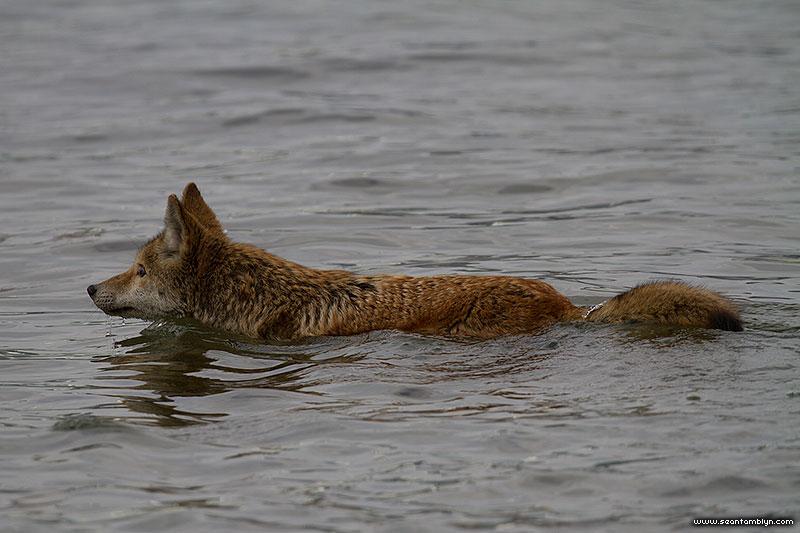 Swimming coyote, Ward's Island, Toronto Islands