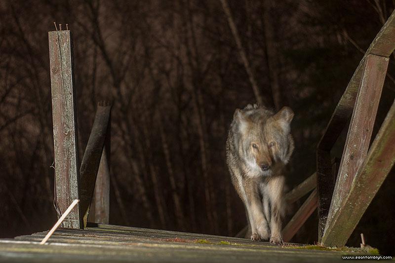 Wild coyote caught by camera trap, Doughnut island, Toronto Islands