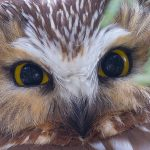 Saw-whet owl portrait, Ward's Island, Toronto Islands