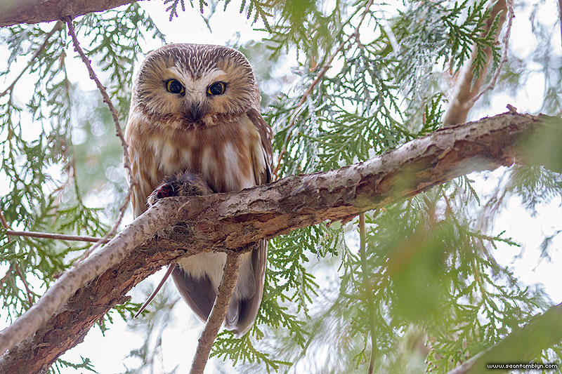 Saw-whet owl, Ward's Island, Toronto Islands