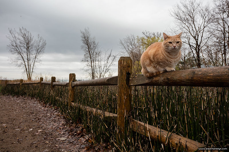 Ginger cat on fence, Ward's Island, Toronto Islands