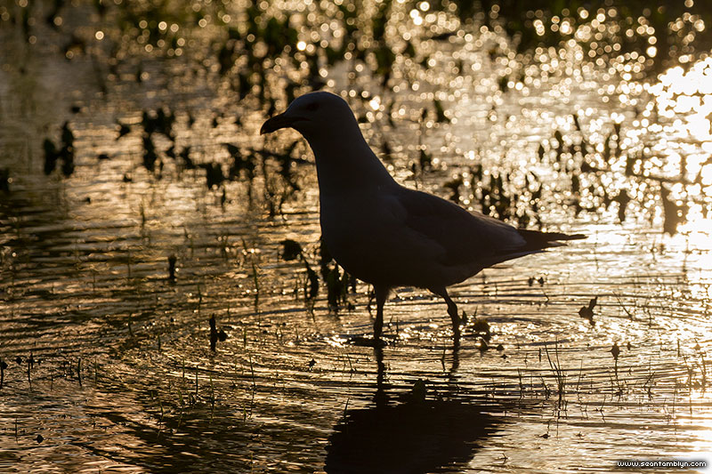Seagull wading in flooded field at sunset, The Annex, Toronto Islands