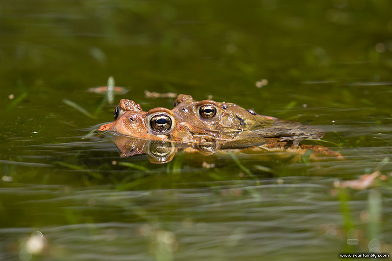 Mating toads in front of Rectory Cafe, Ward's Island, Toronto Islands