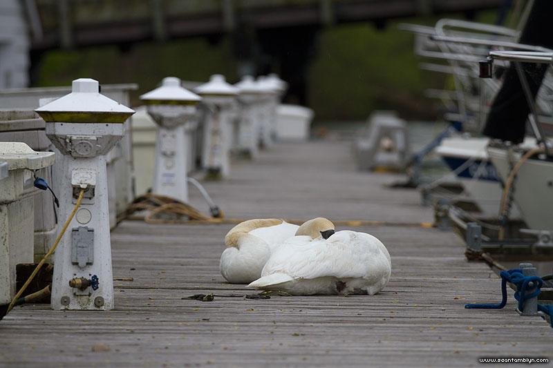 Dejected mute swans on QCYC dock, Ward's Island, Toronto Islands