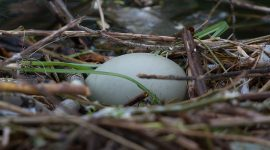 Final swan egg in nest, Ward's Island, Toronto Islands