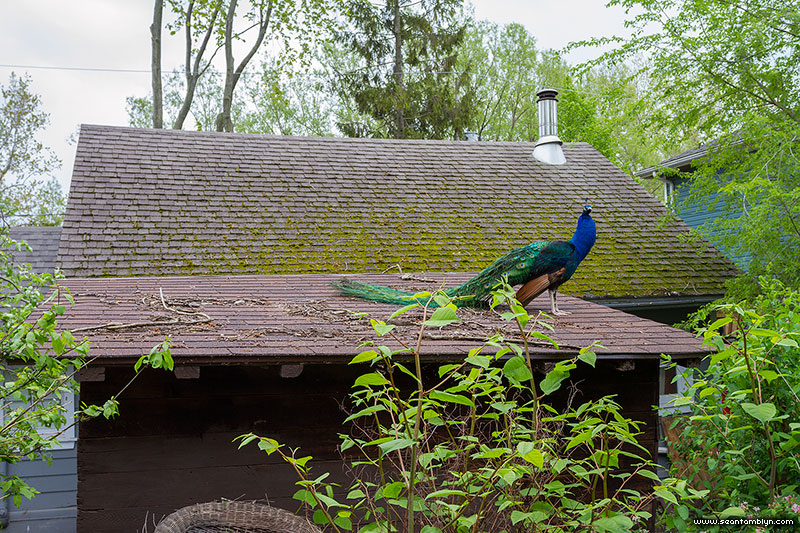 Wild peacock on house roof, Flood of 2017, Ward's Island, Toronto Islands