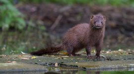 Mink on shoreline of Centerville, Toronto Island Flood, Center Island, Toronto Islands