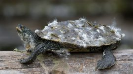 Map turtle covered in poplar fluff, Doughnut Island, Toronto Islands
