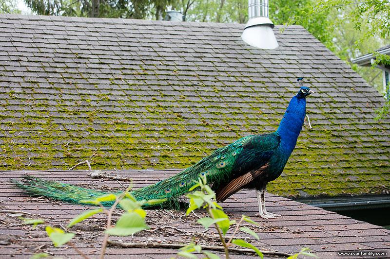 Wild peacock on house roof, Flood of 2017, Ward's Island, Toronto Islands
