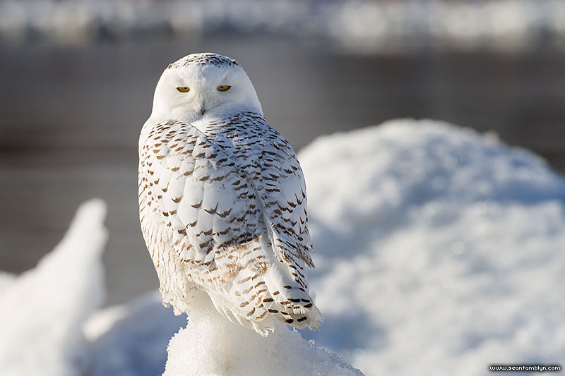 A snowy owl stares into the camera, Ward's Beach, Toronto Islands