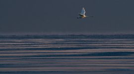 Trumpeter swan flying over frozen Lake Ontario, Center Island, Toronto Islands