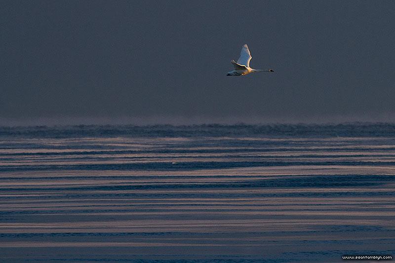 Trumpeter swan flying over frozen Lake Ontario, Center Island, Toronto Islands