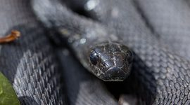Melanistic garter snake, Ward's Island, Toronto Islands