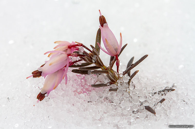 April flowers buried in ice crystals, Ward's Island, Toronto Islands