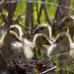 Canada Goose goslings, Forestry Island, Toronto Islands