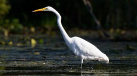 Wading Great Egret, Doughnut Island, Toronto Islands