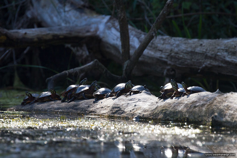 Ten painted turtles on one log, Doughnut Island, Toronto Islands