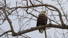 Male bald eagle, Ward's Island, Toronto Islands