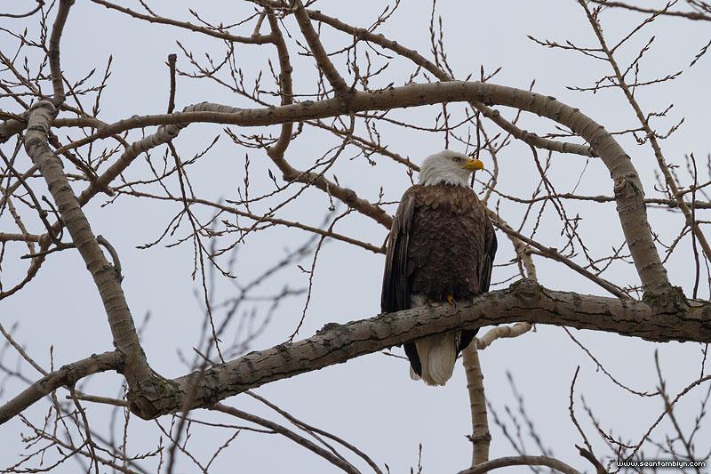 Male bald eagle, Ward's Island, Toronto Islands