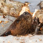 Beaver chewing branch in hole in ice, Snug Harbour, Toronto Islands