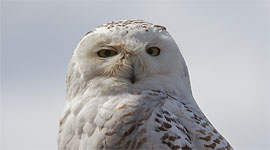 Snowy owl, Gibraltar Point, Toronto Islands