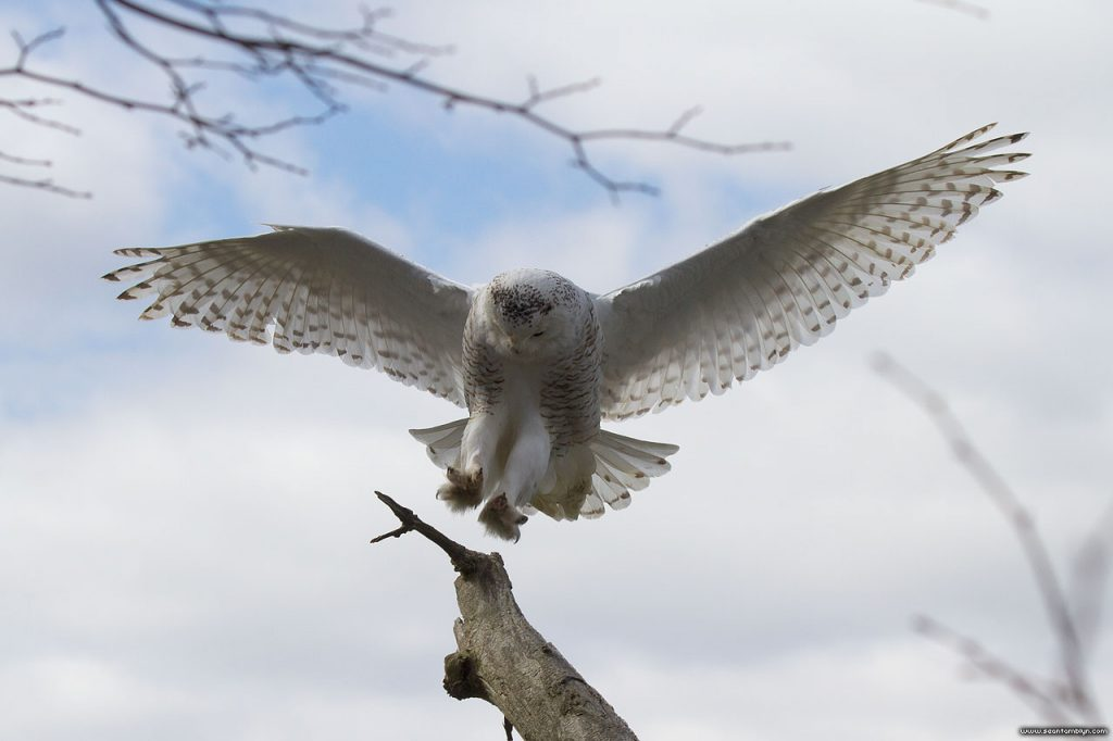 Snowy owl with wingtip feathers, Gibraltar Point, Toronto Islands