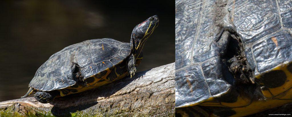 Injured red eared slider turtle, Snug Harbour, Toronto Islands