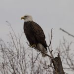 Bald eagle on branch, Long Pond, Toronto Islands