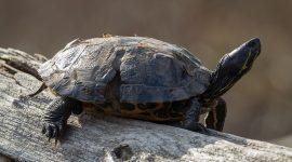 Red-eared slider turtle damaged by prop, Snug Harbour, Toronto Islands