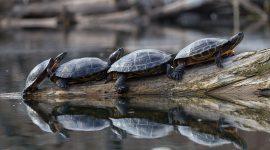 Four red-eared slider turtles on a log, Snug Harbour, Toronto Islands